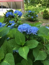 78 - my blue hydrangeas with lots of blooms
